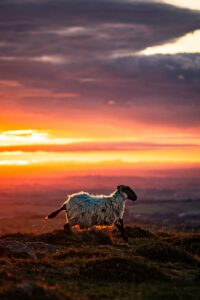 A sheep running across Dartmoor hills with sunset behind.